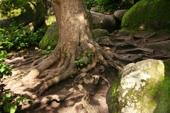 Big stones and roots. Ancient forest with big stones and roots Royalty Free Stock Photos