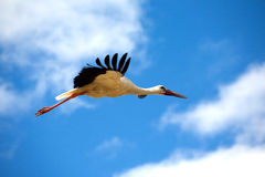 Big stork in flight closeup Stock Images