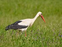 Big stork in the grass Royalty Free Stock Images