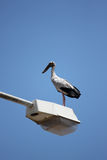Big stork standing on top electricity post. Stock Images
