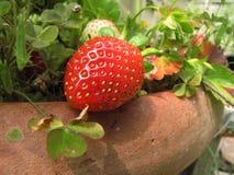 Big strawberry. One big strawberry on her plant Stock Photos