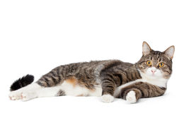 Big striped cat Royalty Free Stock Photo