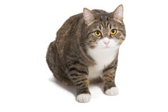 Big striped cat Royalty Free Stock Image