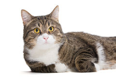 Big striped cat Stock Images