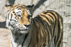 The big striped tiger closeup Royalty Free Stock Photography