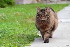 Big, strong and furry norwegian forest cat male walking in garden. Big, strong and furry norwegian forest cat male walking along concrete path Stock Image