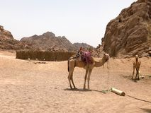 The big strong hardy camels are resting in the parking lot, on a hot yellow sand in the desert in Egypt against the background of stock photography