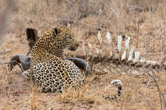 Big strong male leopard walking eat on animal carcass on grass Stock Images
