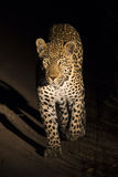 Big strong male leopard walking in nature at night Royalty Free Stock Images