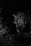 Big strong male leopard walking nature at night in darkness arti Stock Photography