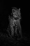 Big strong male leopard walking nature at night in darkness arti Stock Photos