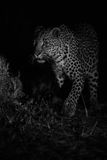 Big strong male leopard walking nature at night in darkness arti Royalty Free Stock Photo