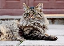 Norwegian forest cat male resting in front of a door. Big and strong Norwegian forest cat male resting in front of  brown door Royalty Free Stock Photos