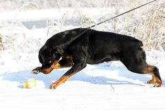 Big strong Rottweiler dog pulls the leash in the winter outdoors Stock Photo