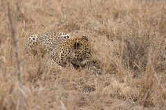 Big strong tired male leopard laying down to rest on grass Stock Photography