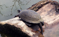 Big strong turtle sleeping at the river on tree Stock Photos