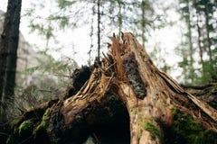The big stump of mountain tree in Carpathian Stock Image