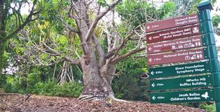 Big stumpy tree. Large stout tree with thick trunk and bare branches in Botanic Gardens, Singapore Royalty Free Stock Photos