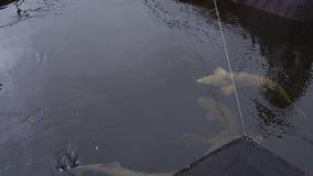 Big sturgeon floats in water stock video footage