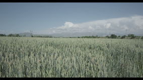 Big summer field of wheat.  stock footage