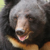 Big sun bear with open mouth Royalty Free Stock Photos