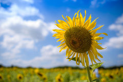 Big Sun flower field on a sunny day. Royalty Free Stock Image