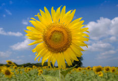 A Big Sun flower field on a sunny day. Royalty Free Stock Photo