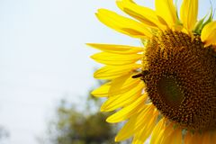 A big sun flower and honey bee. stock photos