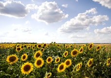 Big sun flowers field Stock Images