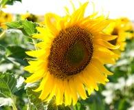 Big sun flowers field Stock Photo