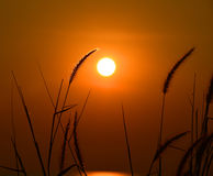 Big sun and GRAMINEAE silhouette Stock Images