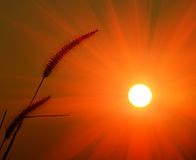 Big sun and GRAMINEAE silhouette Royalty Free Stock Image