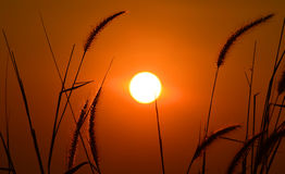 Big sun and GRAMINEAE silhouette Stock Image