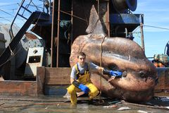Big sunfish Stock Images