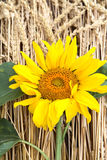 Big sunflower Royalty Free Stock Images