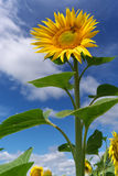 Big sunflower Royalty Free Stock Photography