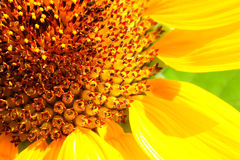 Big sunflower Stock Photos