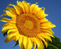 Big Sunflower Royalty Free Stock Photo
