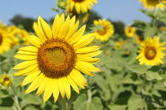 Big sunflower. Royalty Free Stock Photo