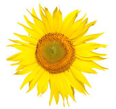 Big sunflower Royalty Free Stock Image