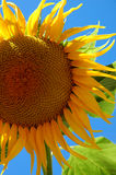 Big Sunflower. Big yellow sunflower against a bright blue cloudless sky Stock Images