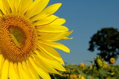 Big sunflower. A sunflower plantation Royalty Free Stock Photography