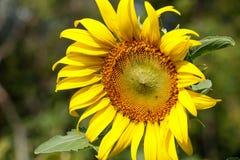 Big SunFlower 31. Stock Image
