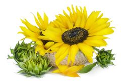 Big  sunflower  in  basket Stock Photos