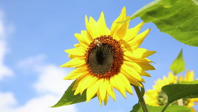 Big Sunflower with a bee in front of an blue sky stock video footage