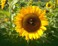 Big sunflower with bees close up Royalty Free Stock Images