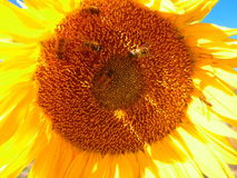 Big sunflower with bees. Stock Images