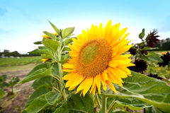 Big sunflower blooming in summer Royalty Free Stock Photos