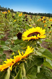 Big sunflower blooming in summer Royalty Free Stock Image