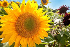 Big sunflower blooming in summer Stock Photos